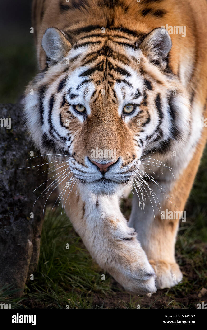 Male Amur tiger walking towards camera Stock Photo