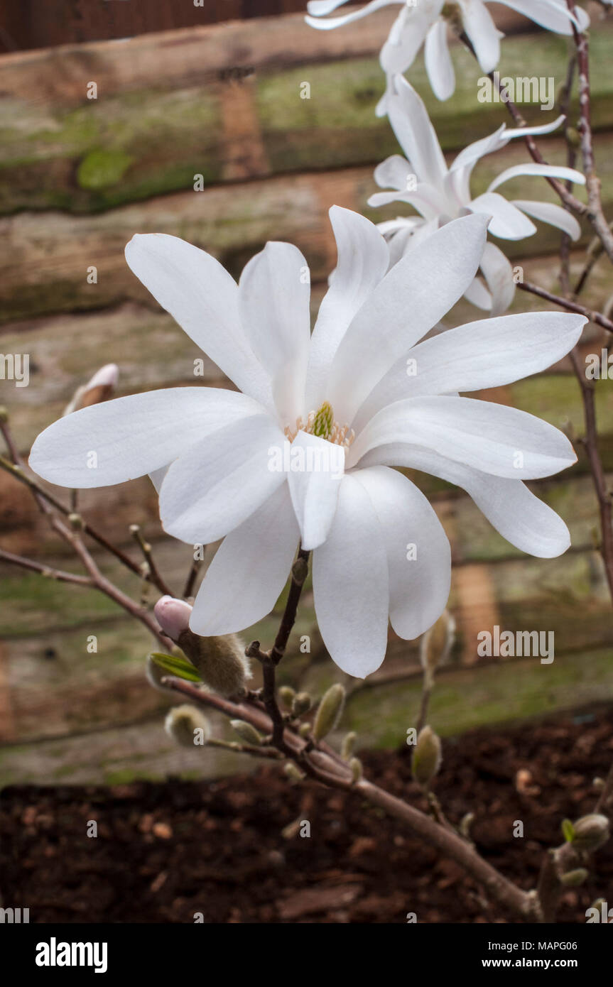 Star shaped flowers stock photos star shaped flowers stock images magnolia stellata star magnolia showing flowers in early spring stock image mightylinksfo