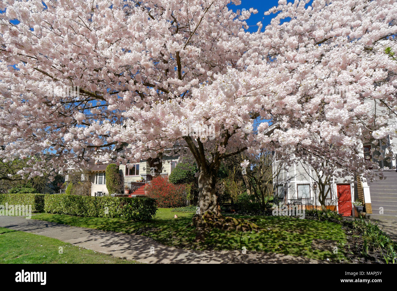 Flowering Pink Ornamental Japanese Cherry Tree On A Residential
