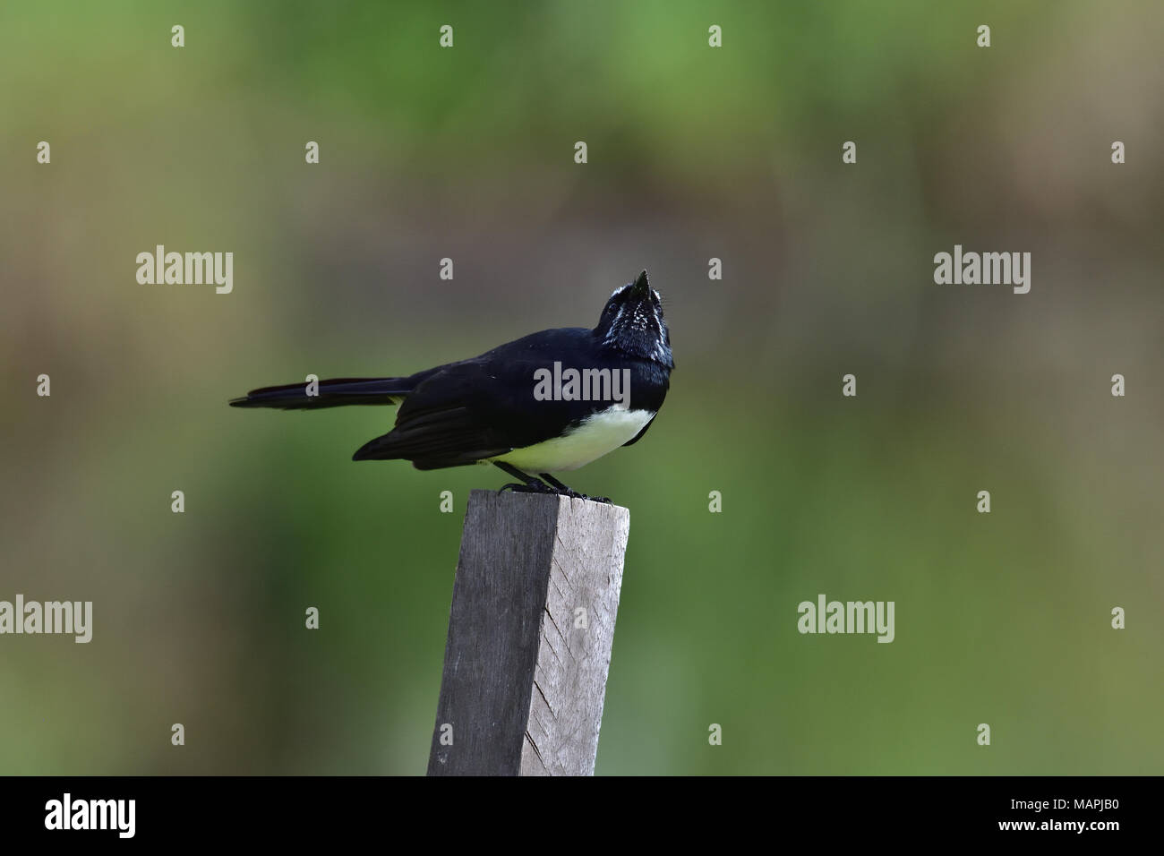 An Australian, Queensland Willie Wagtail, Rhipidura leucophrys looking out for Predators - Stock Image
