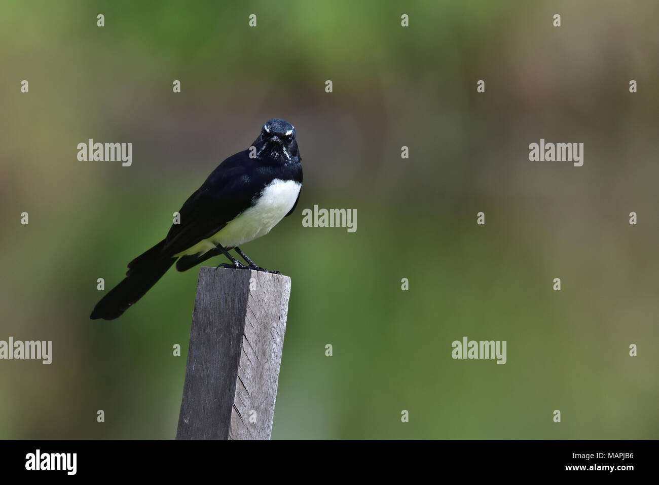 An Australian, Queensland Willie Wagtail, Rhipidura leucophrys resting on a wooden post Stock Photo