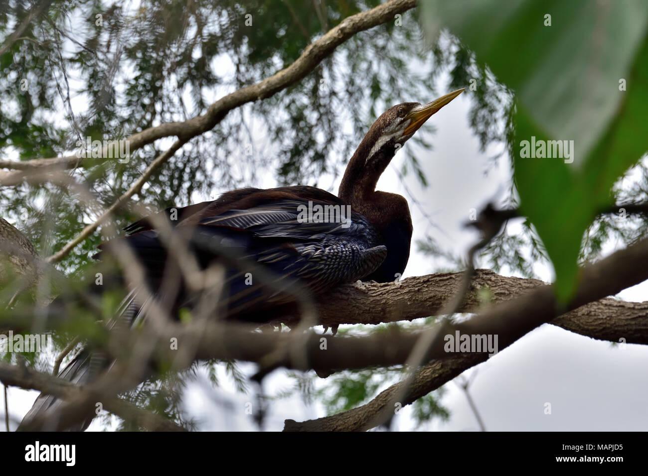 An Australian, Queensland Male Darter, Anhinga melanogaster resting on a Tree branch - Stock Image