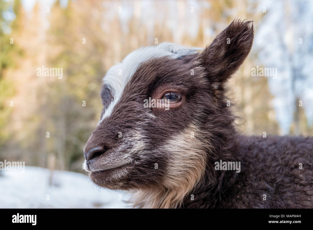 close up on a little brown and white lamb Stock Photo