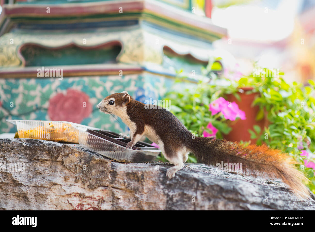 Cute squirrel eats from plastic boxes. The animal lives outdoors on Wat Pho Buddhist temple's territory in Bangkok, Thailand - Stock Image