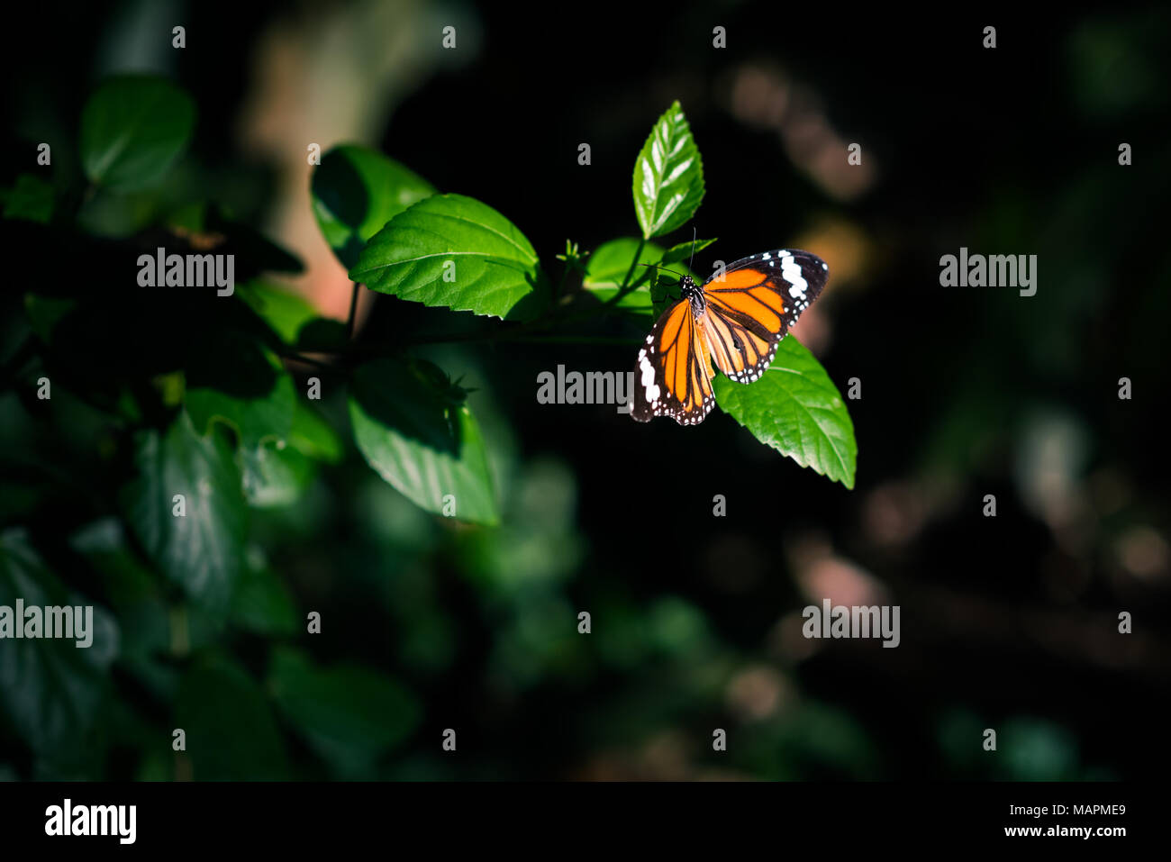 Orange butterfly in the darkness of jungles lit by the spot of sunlight sits on a leaf of a hibiscus branch surrounded by the black - Stock Image