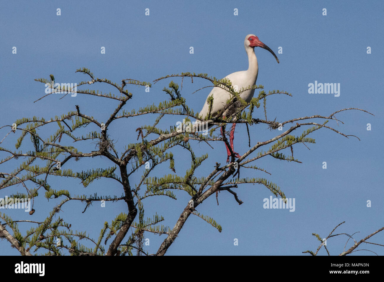 White ibis perched in poinciana tree - Stock Image