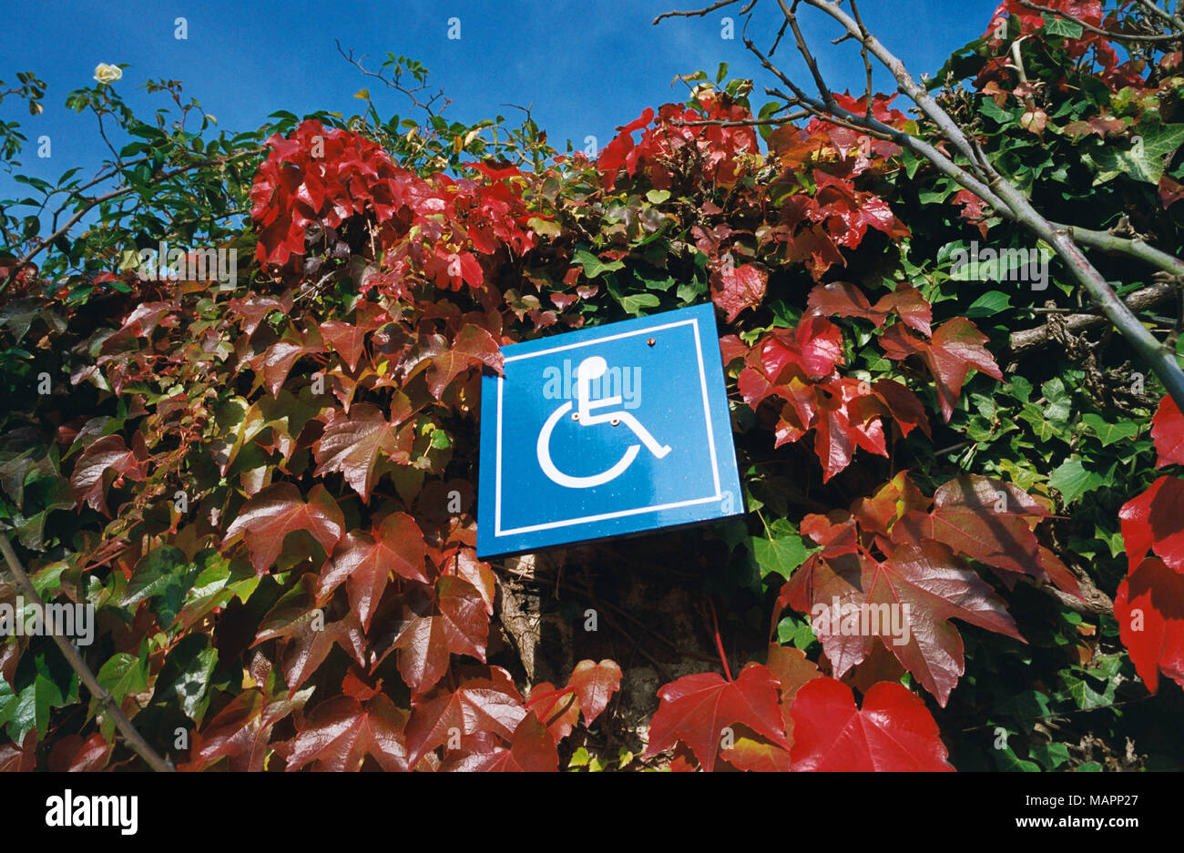 Disabled sign surrounded by Virginia creeper - Stock Image
