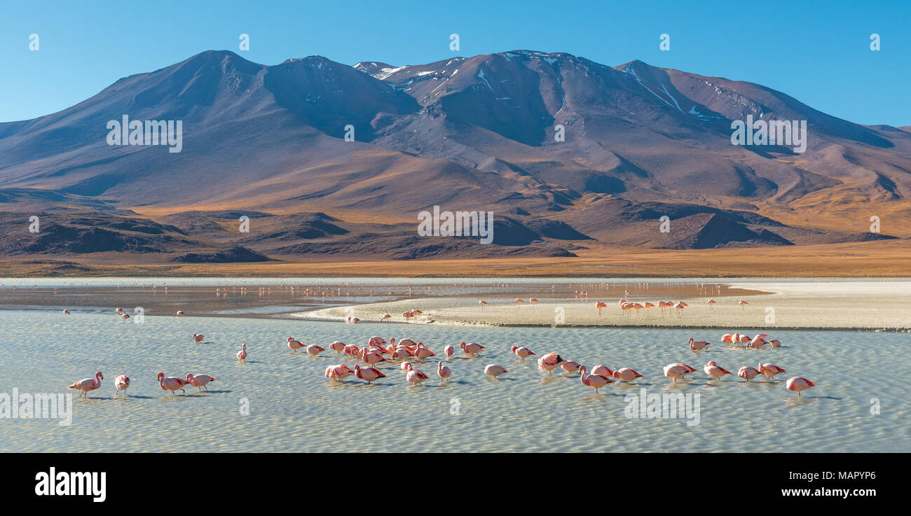 Landscape of the Andes mountain range at the Canapa Lagoon with James and Chilean flamingos in the foreground, Altiplano of Bolivia, South America. - Stock Image