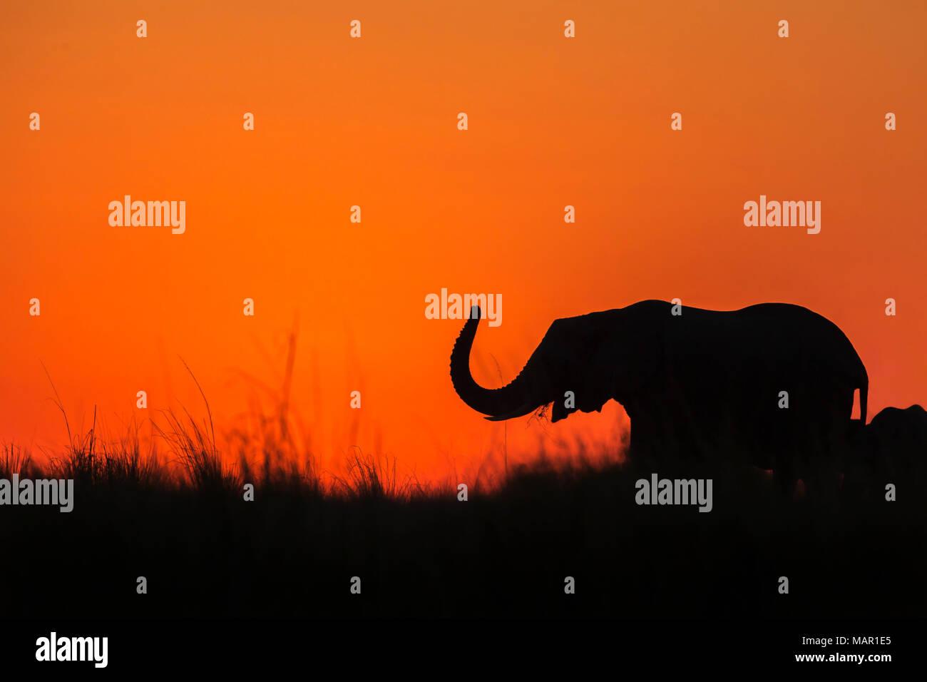 Elephant (Loxodonta africana) at sunset, Chobe National Park, Botswana, Africa - Stock Image