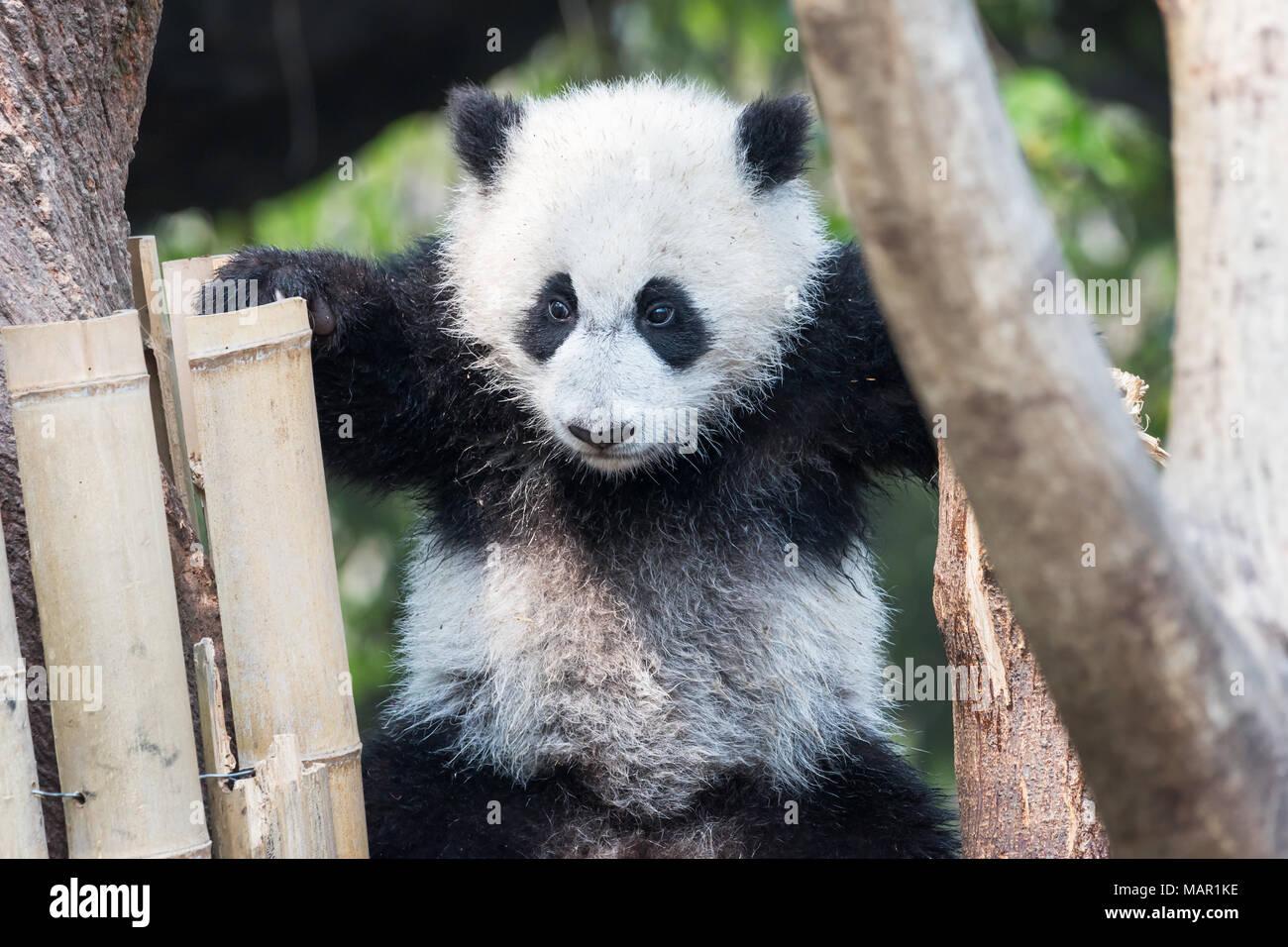 Panda cub playing in a tree, Chengdu, China Stock Photo
