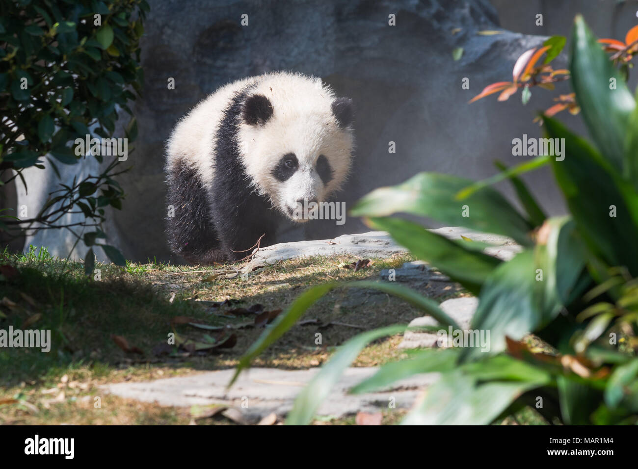 Panda cub walking in sunshine, Chengdu, China Stock Photo