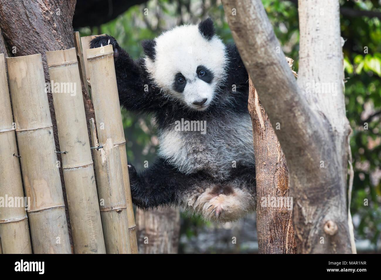 Panda cub playing in a tree, Chengdu, China - Stock Image