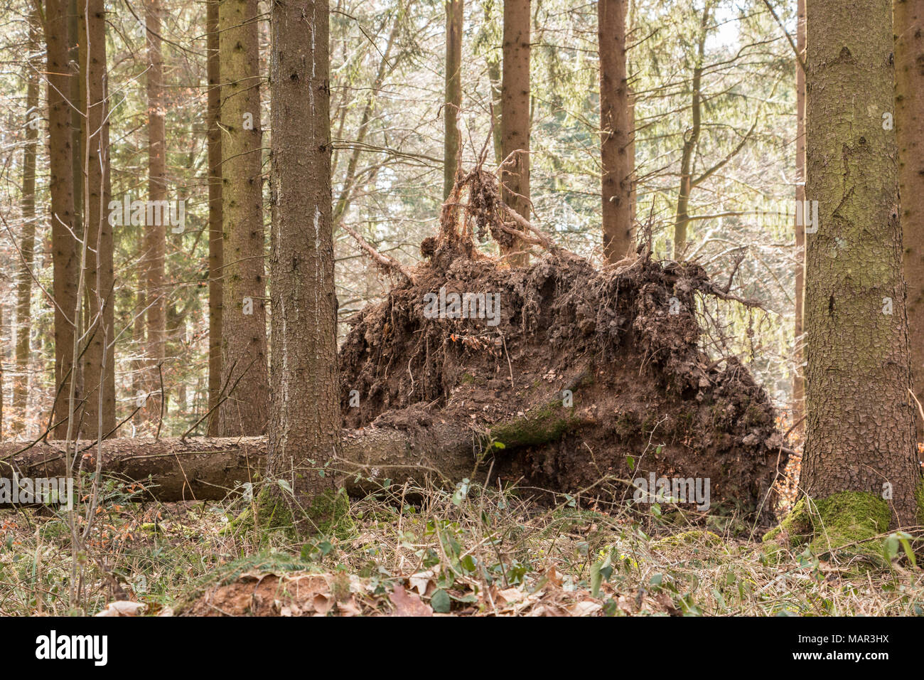 Big fallen trees in the middle of the forest - Stock Image