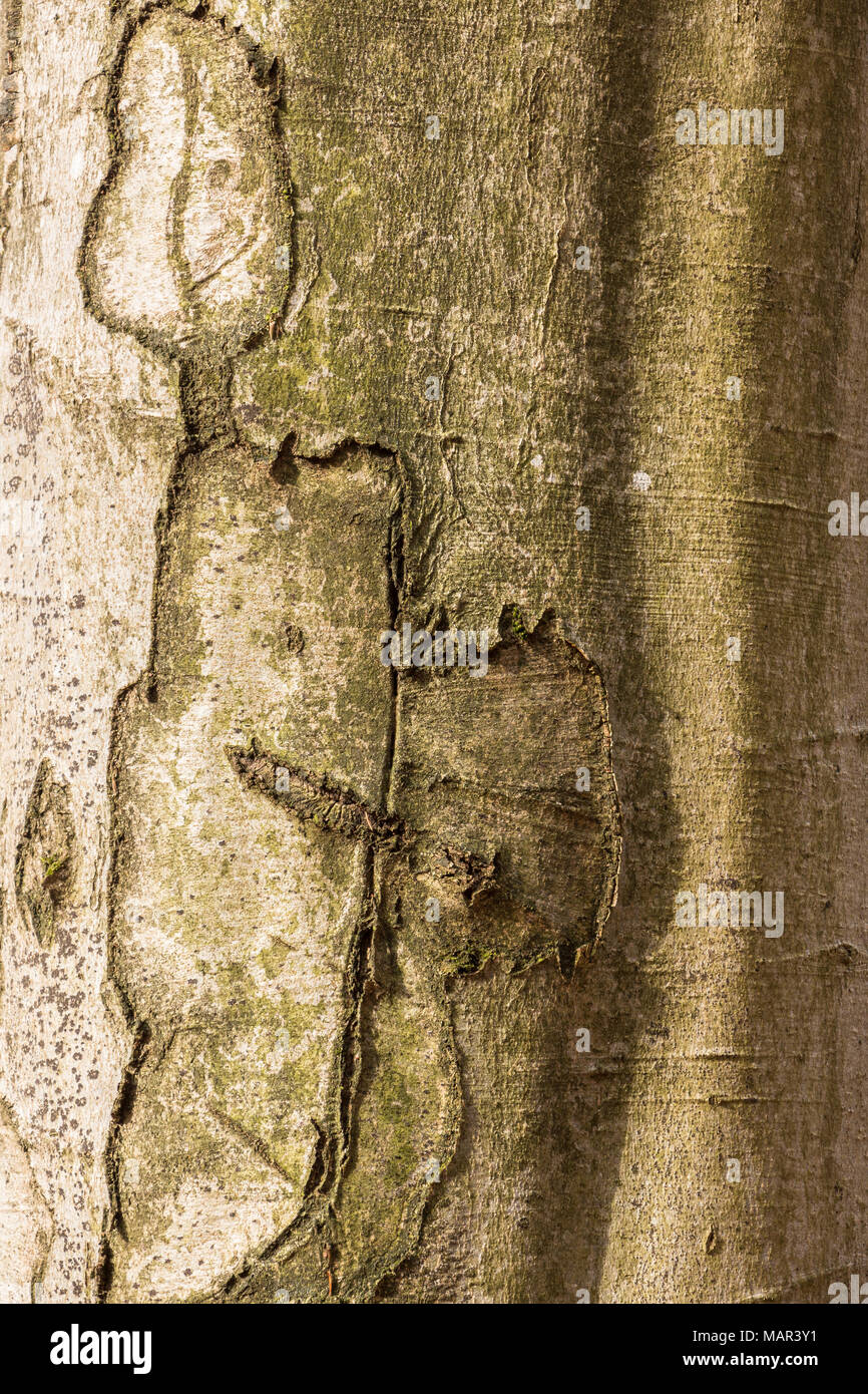 Tree trunk with scars in the middle of the forest - Stock Image