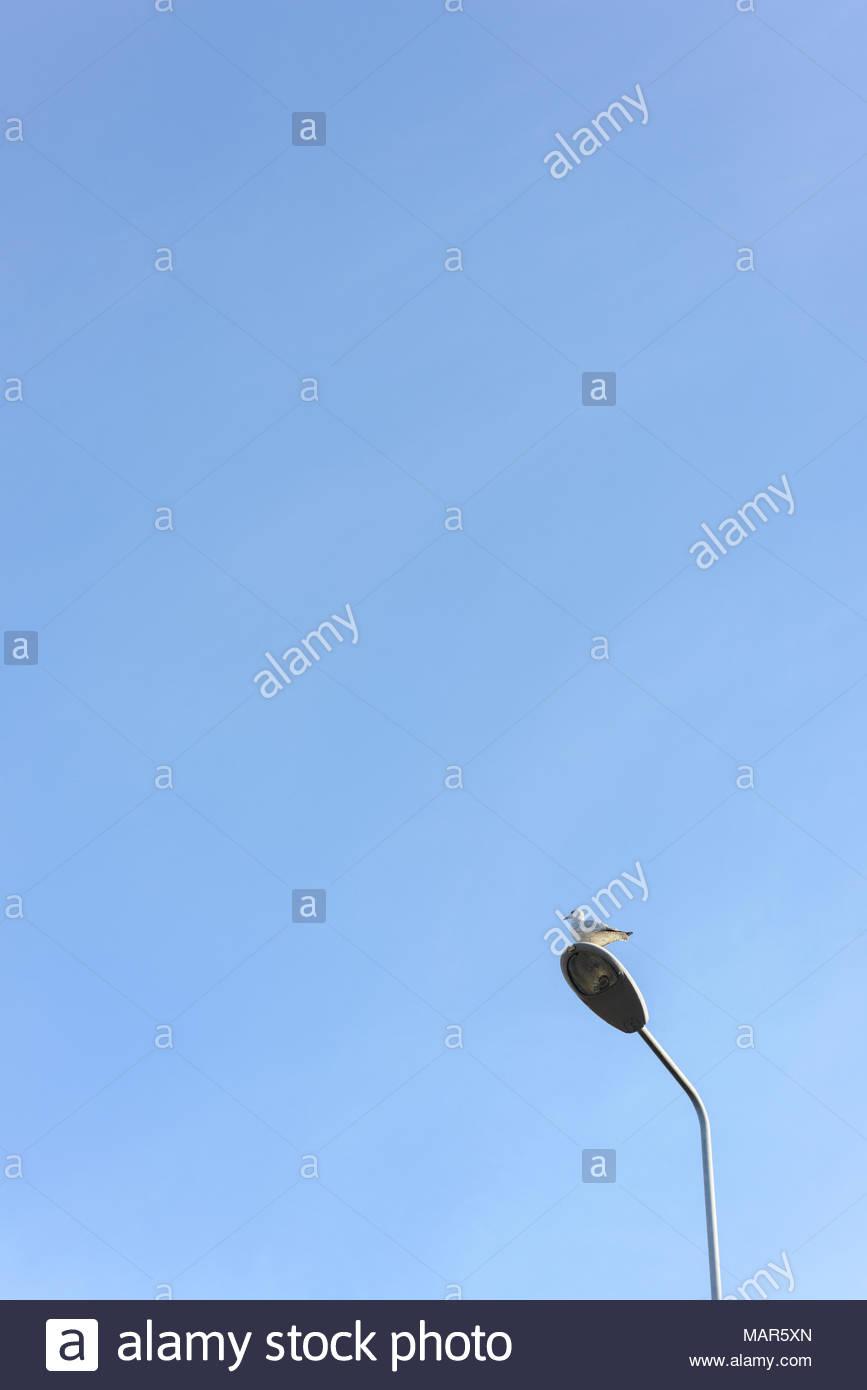 Heuglin's gull a.k.a. Siberian gull /Larus fuscus heuglini/ or Taimyr gull/Larus fuscus taimyrensis/ perches on street lamp post against blue  sky. - Stock Image