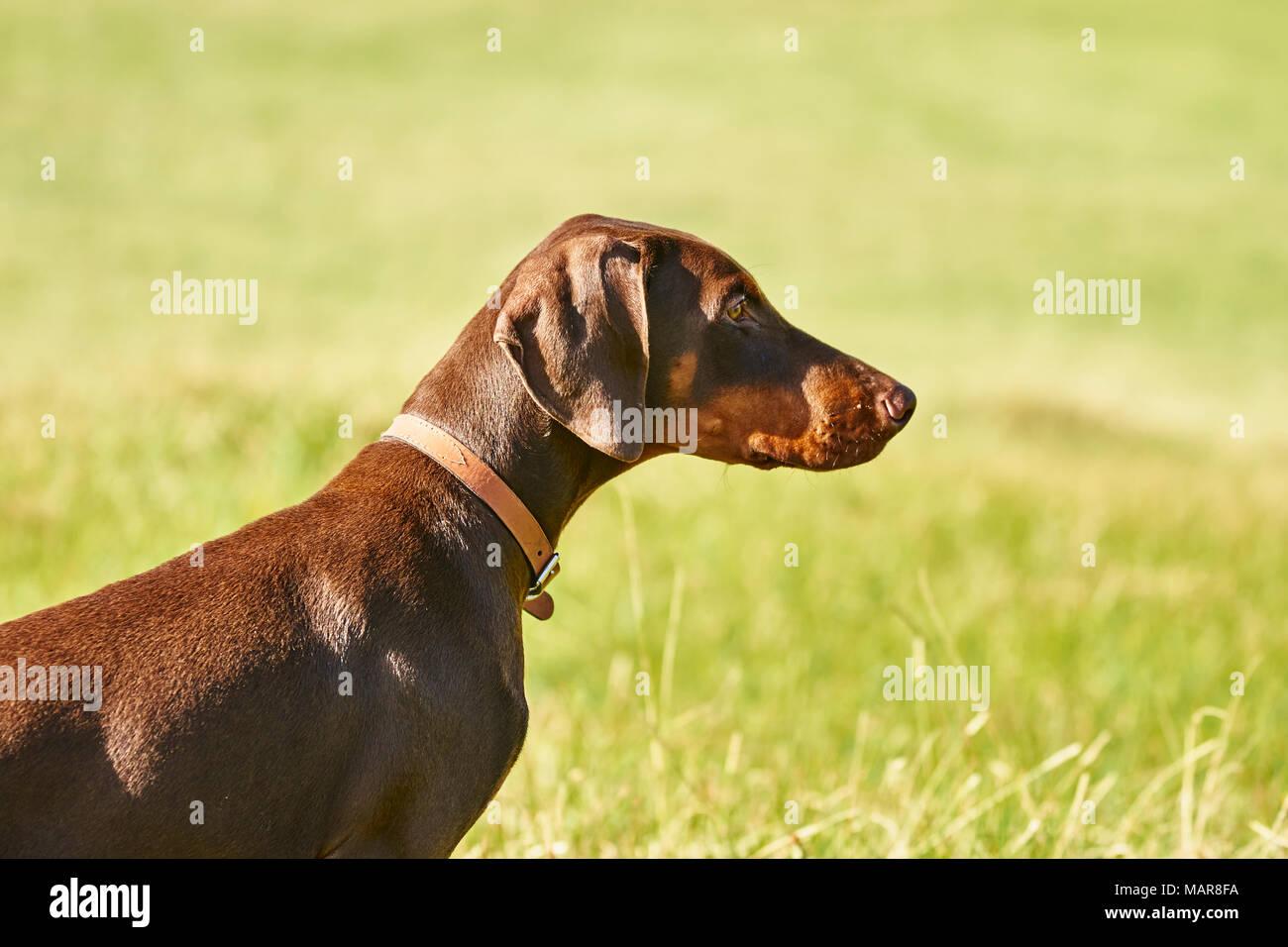 young brown and tan doberman pup - Stock Image