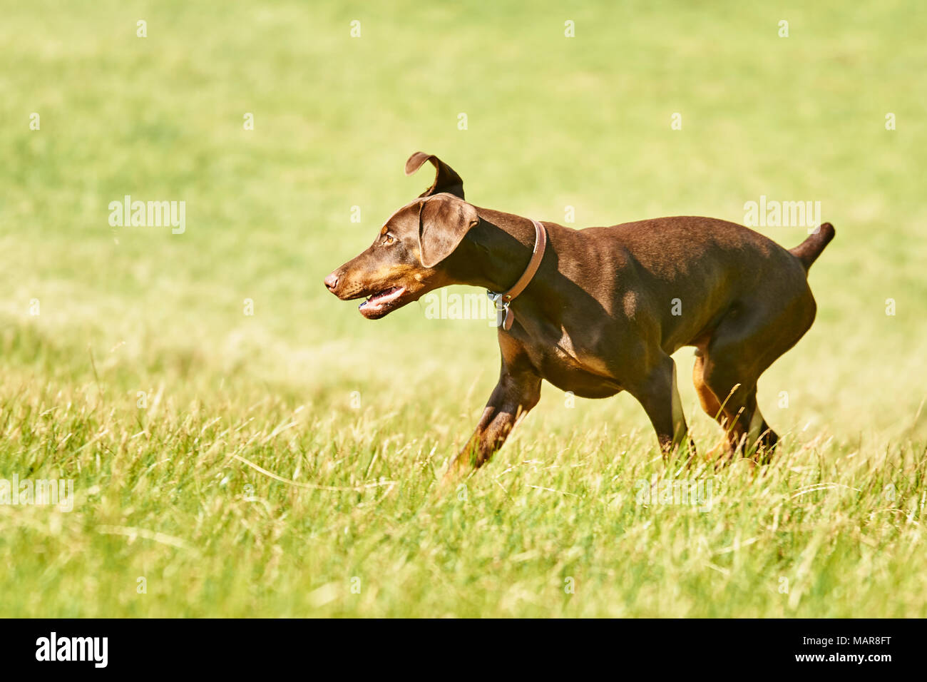 young brown and tan doberman pup - Stock Image