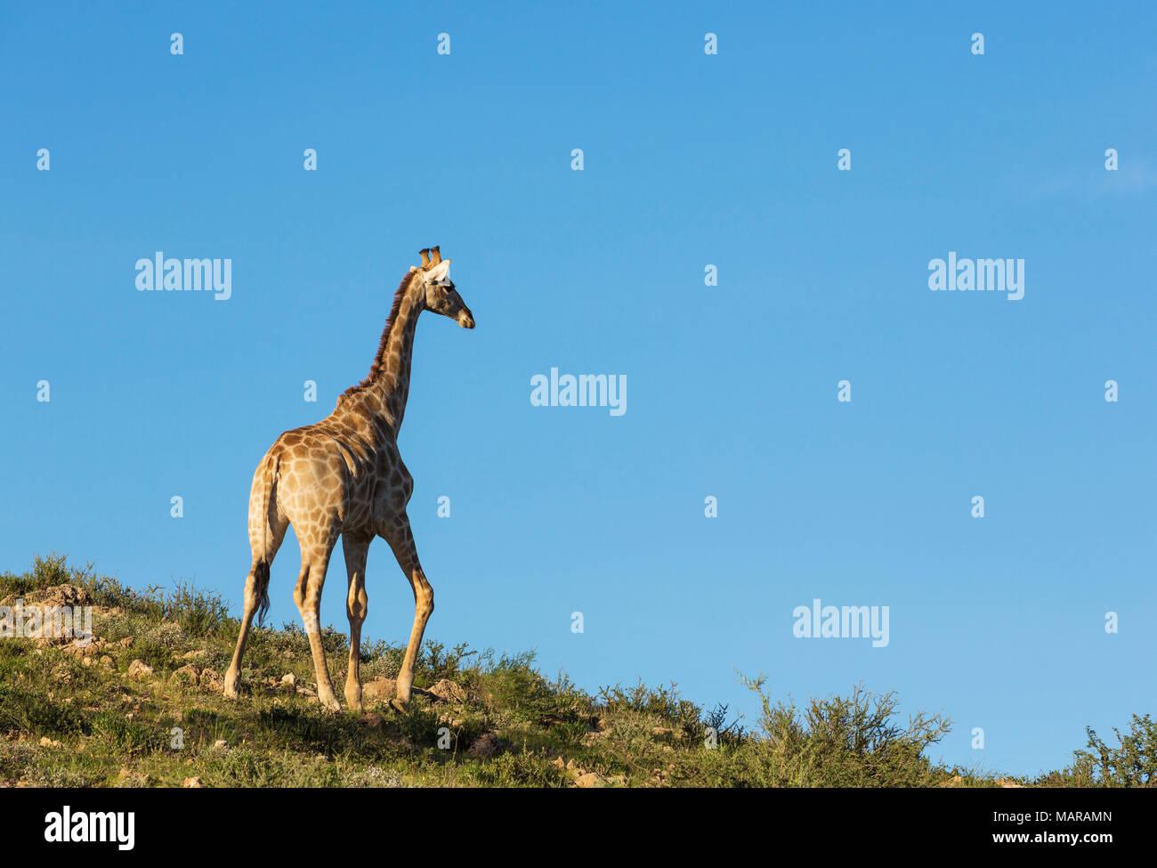 Southern Giraffe (Giraffa giraffa). Male in the last evening light - Stock Image