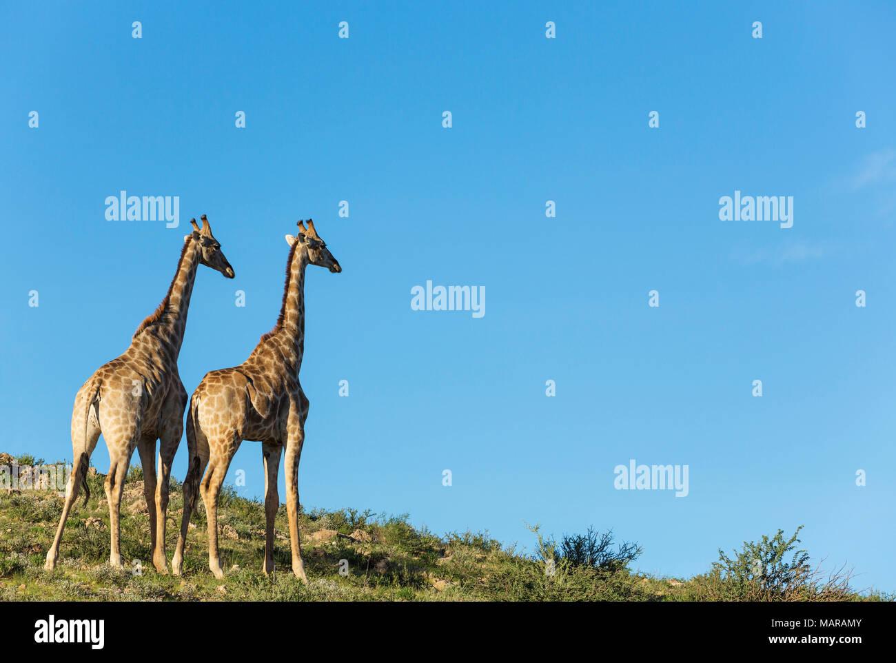 Southern Giraffe (Giraffa giraffa). Two males in the last evening light - Stock Image