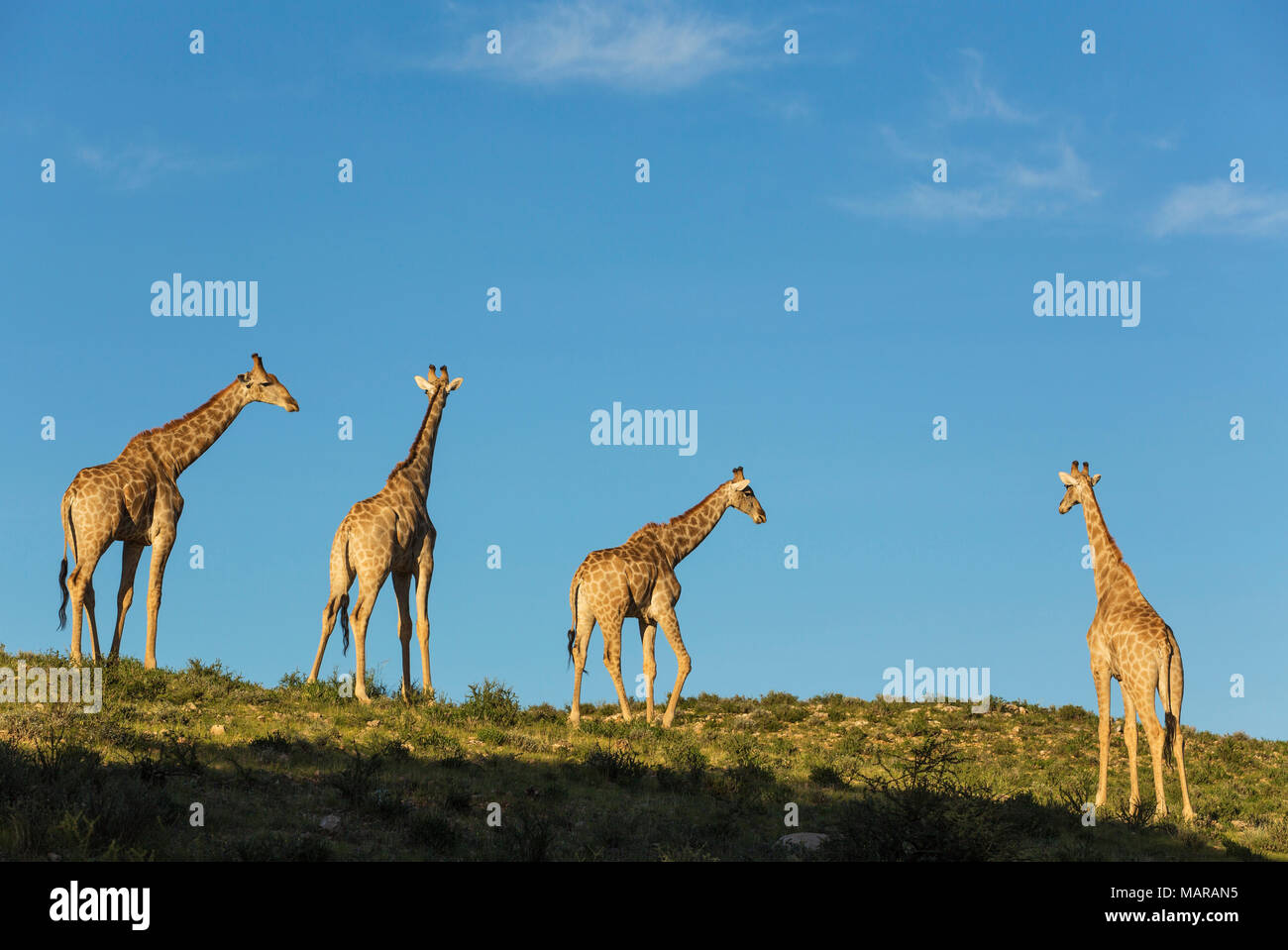 Southern Giraffe (Giraffa giraffa). Four males in the last evening light - Stock Image