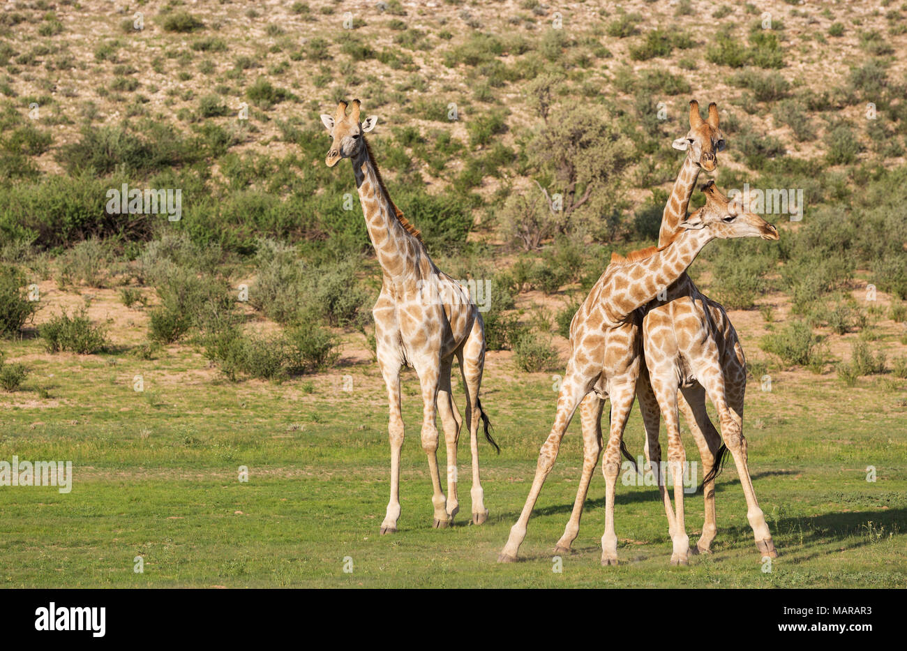Southern Giraffe (Giraffa giraffa). Two fighting males, a third standing aside - Stock Image