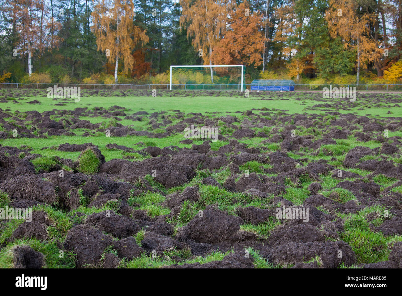 Wild Boar (Sus scrofa). Sports ground dug up by wild boars. Germany - Stock Image