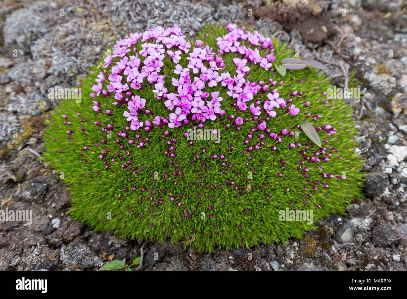 Cushion Pink Moss Campion Silene Acaulis Flowering Plant