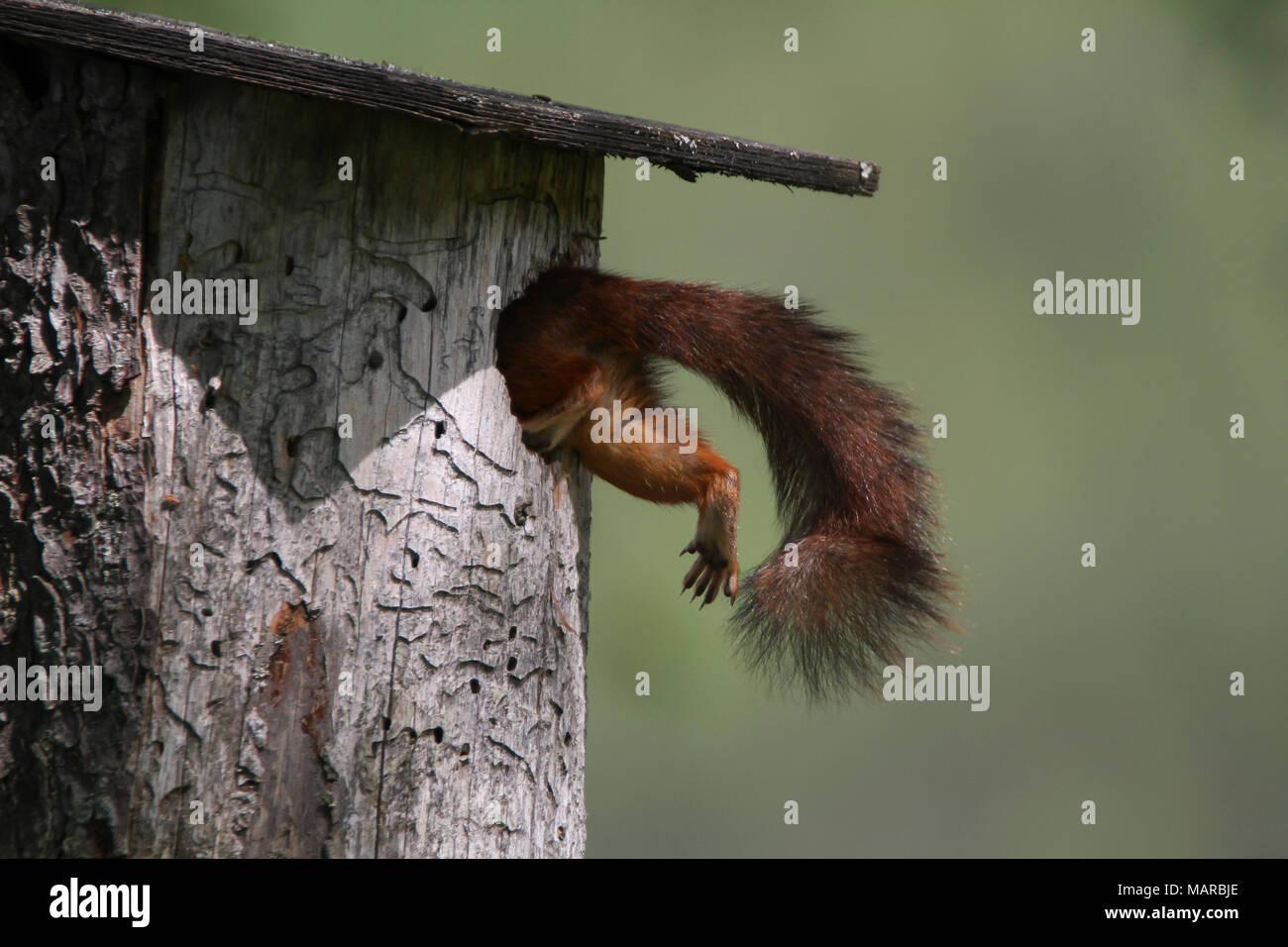 Red Squirrel (Sciurus vulgaris). Mother climbing into nesting box. Dalarna, Schweden - Stock Image