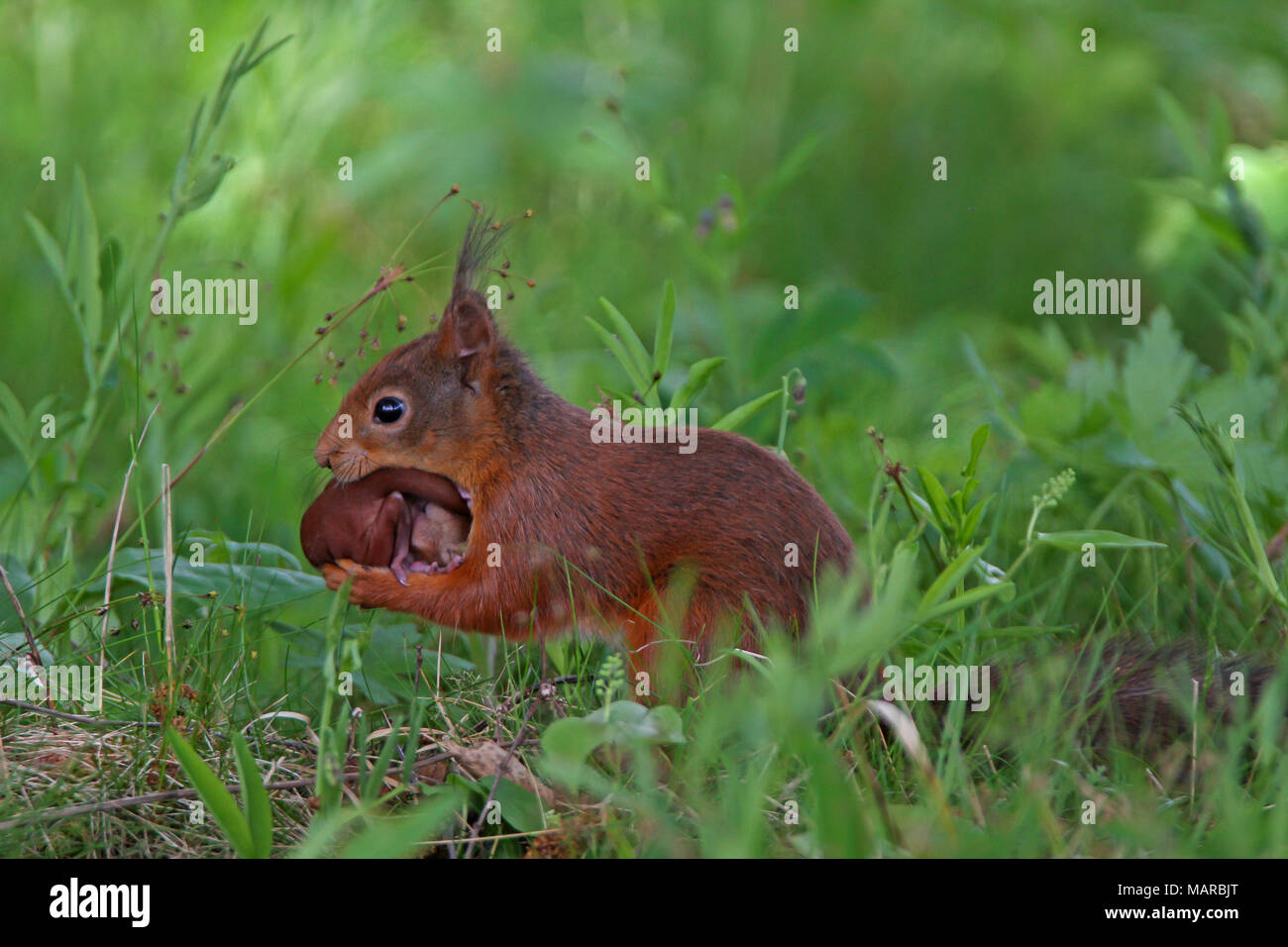 Red Squirrel (Sciurus vulgaris). Mother carrying young. Dalarna, Schweden - Stock Image