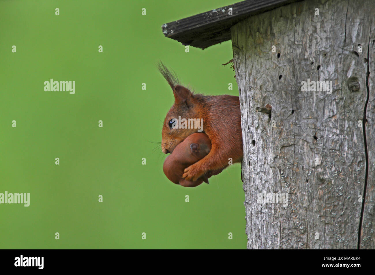 Red Squirrel (Sciurus vulgaris). Mother carrying young out from nesting box. Dalarna, Schweden - Stock Image