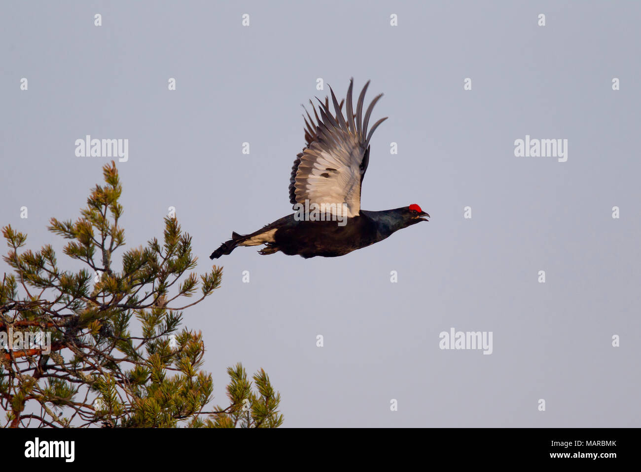 Black Grouse (Tetrao tetrix, Lyrurus tetrix). Male (blackcock) flying off from a treetop. Sweden - Stock Image