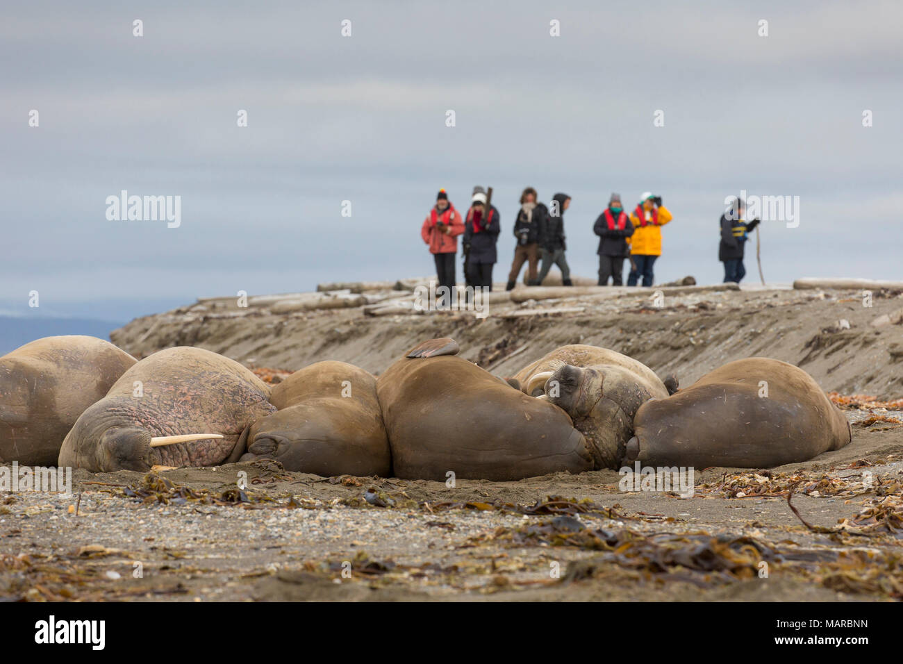 Atlantic Walrus (Odobenus rosmarus). Tourists taking pictures of walrusses on a beach. Svalbard, Norway - Stock Image