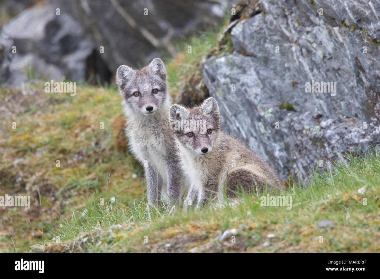 Arctic Fox (Alopex lagopus). Pair of juveniles sitting next to a rock. Svalbard, Norway - Stock Image