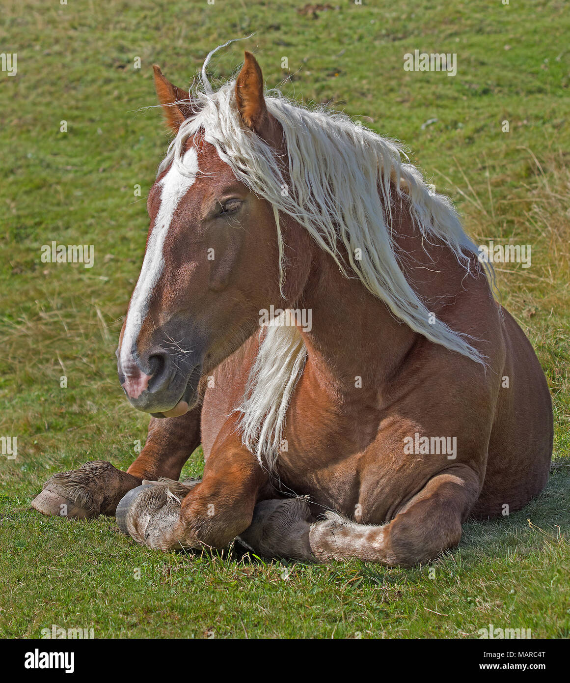 Draft horse. Chestnut adult lying on a pasture. Italy - Stock Image