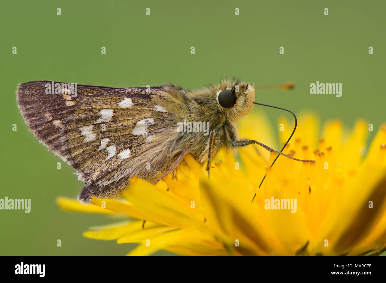 Silver-spotted Skipper (Hesperia comma). Butterfly on a yellow flower. Austria Stock Photo