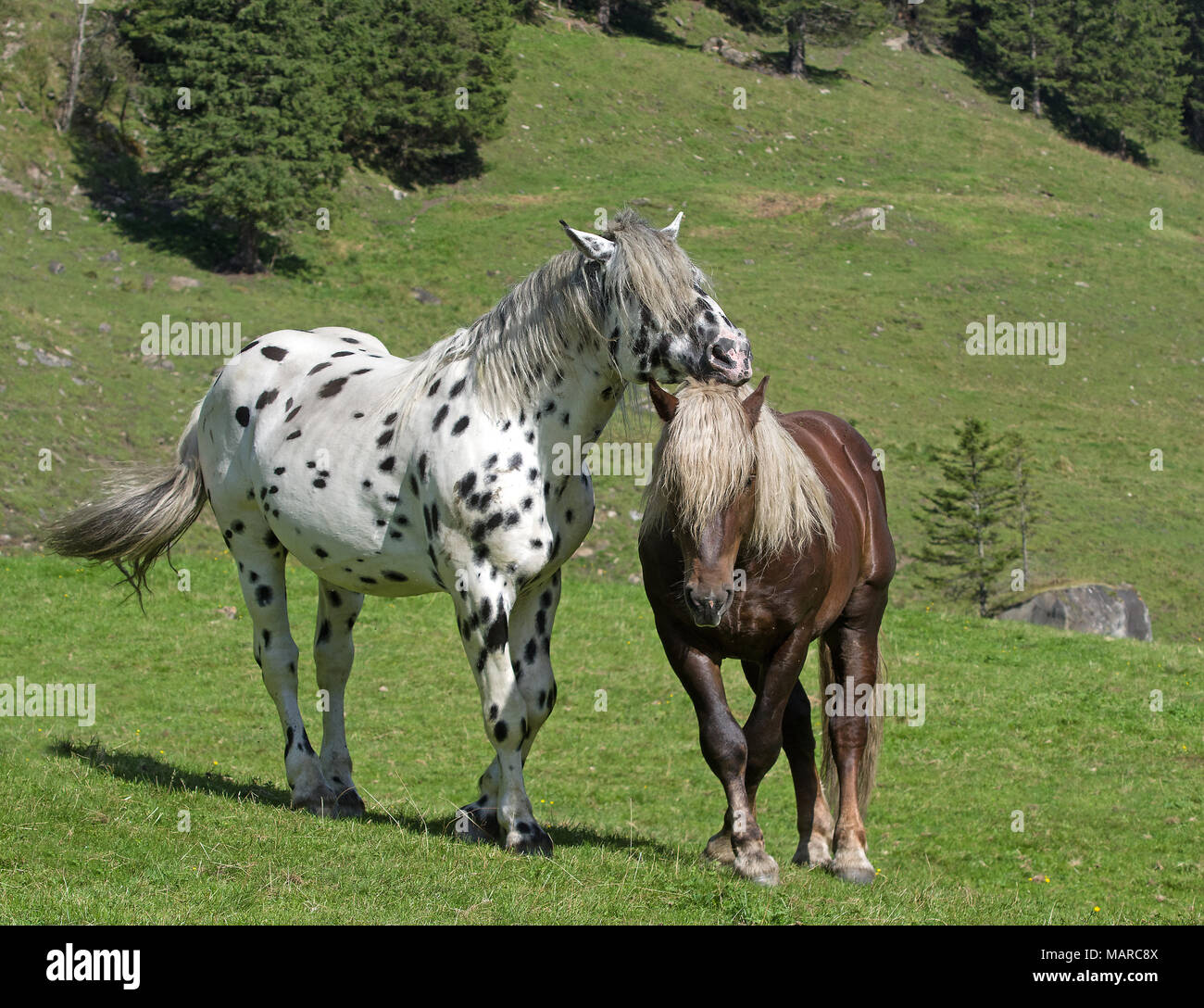 Noriker. Two stallions (leopard-spotted and chestnut) on an alpine meadow, Austria. The leopard-spotted showing dominance, which the other horse accepts by showing submissive behaviour - Stock Image