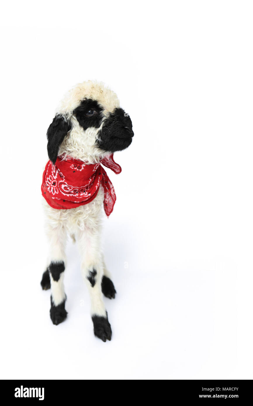 Lamb 5 Days Old Standing Wearing A Red Scarf