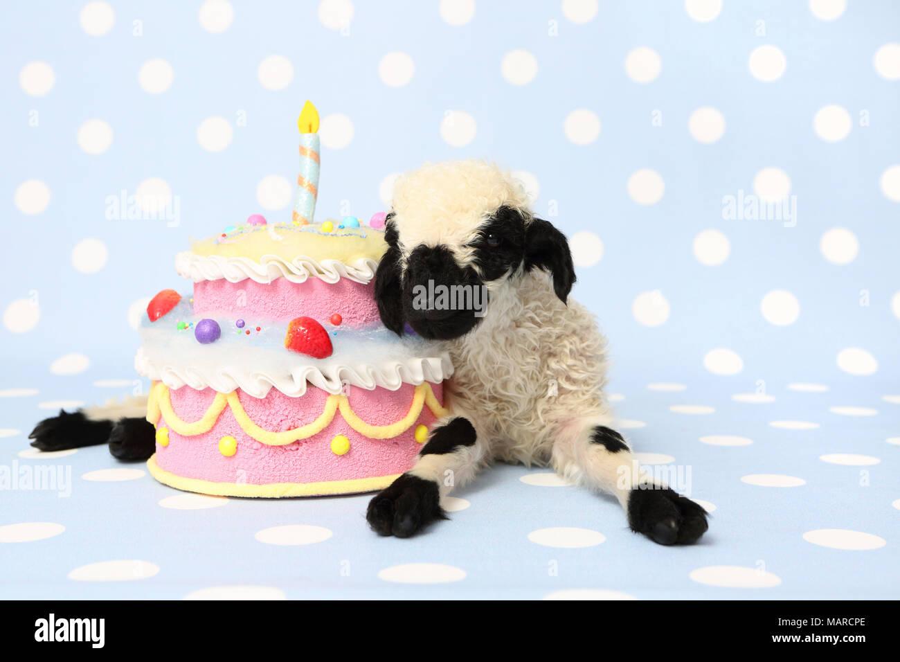 Surprising Valais Blacknose Sheep Lamb 10 Days Old Lying Next To A Funny Birthday Cards Online Benoljebrpdamsfinfo
