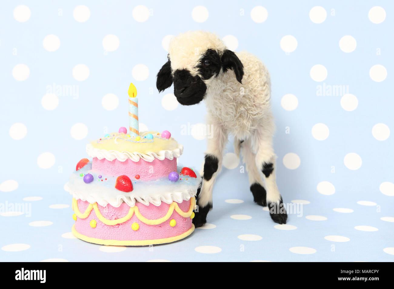 Brilliant Valais Blacknose Sheep Lamb 10 Days Old Standing Next To A Funny Birthday Cards Online Benoljebrpdamsfinfo