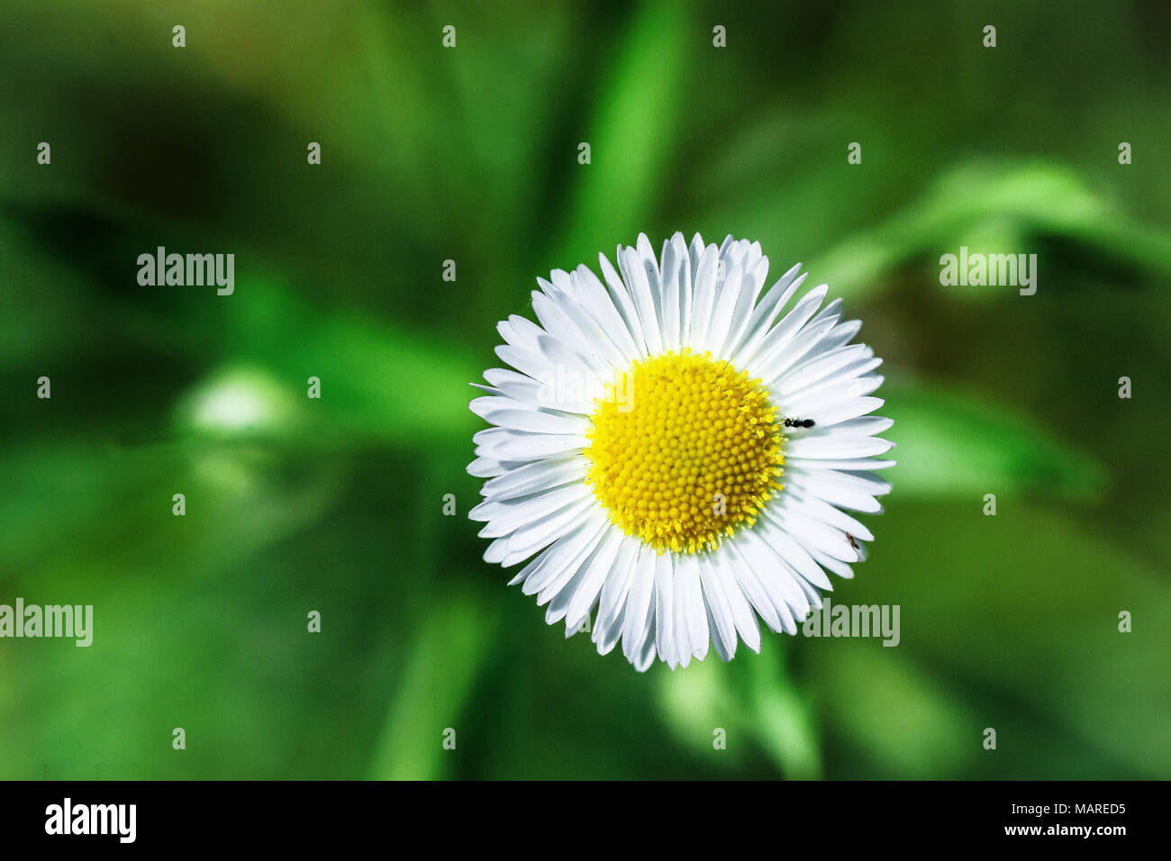 An ant is sitting on camomile on green background. Macro - Stock Image