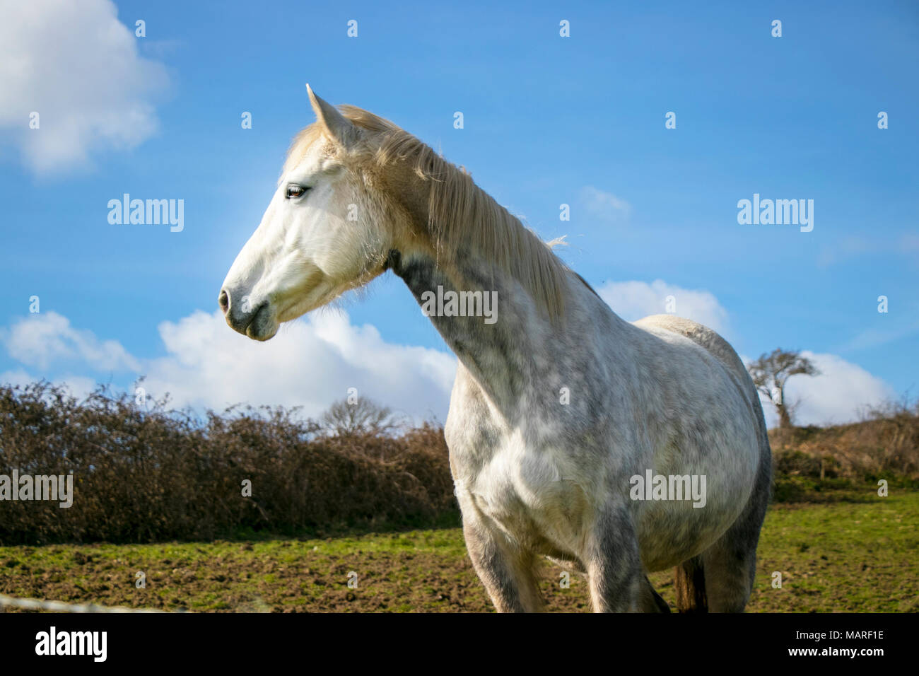 Portrait of beautiful white horse standing in green hillside against blue sky with trees in the background - Stock Image
