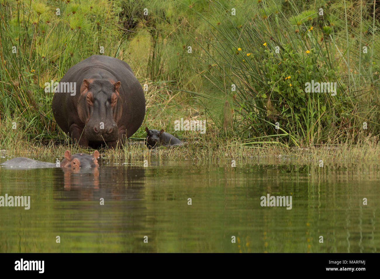 This hippopotamus cow and calf make their way to the water watched on by another. Akagera National Park, Rwanda - Stock Image