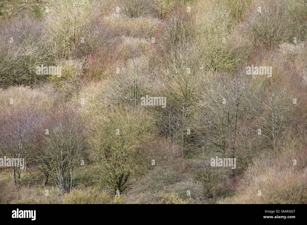 A view of a young wood in early spring with the trees just starting to sprout giving a range of subtle colours. - Stock Image