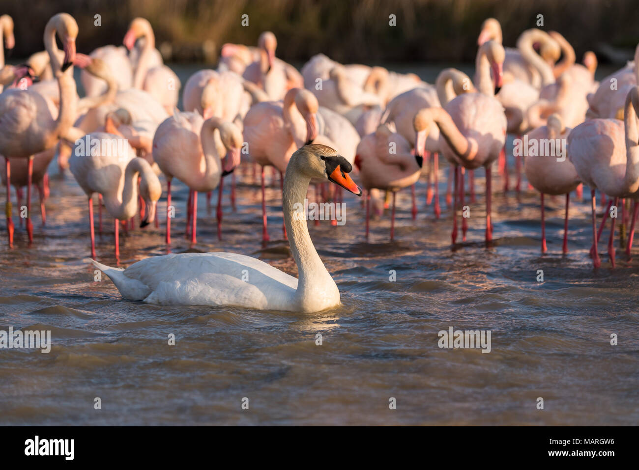 A swan and a flock of flamingos , Camargue, France - Stock Image