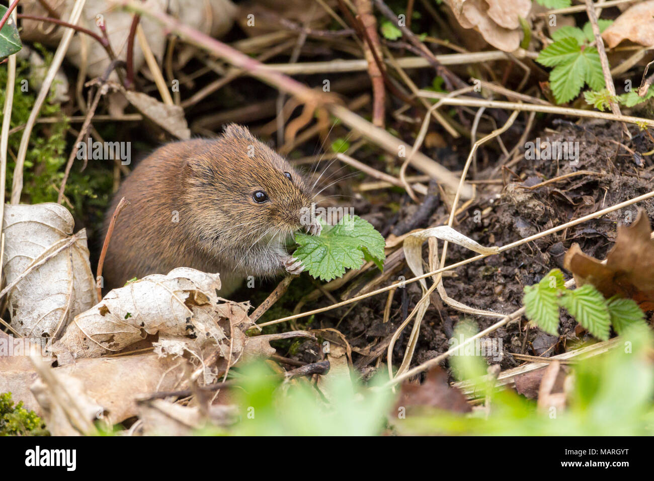 Bank vole (Clethrionomys glareolus) feeding on bankside vegetation near a bridge I took the image from at the entrance to Woods mill nature reserve. - Stock Image