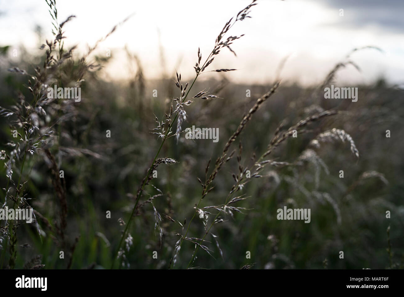 Pasture Grass gently waving in the wind while the sun is setting in the Background - Stock Image