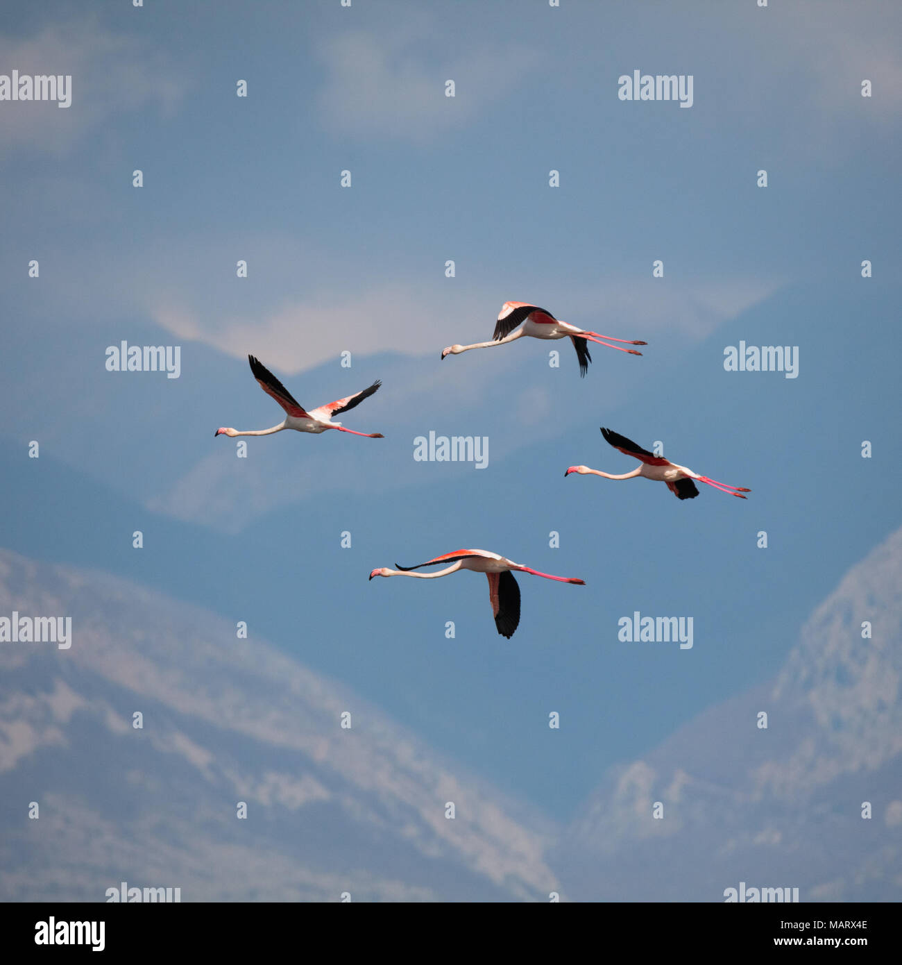 Greater flamingo, Phoenicopterus roseus - Stock Image