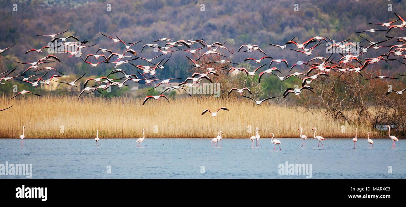 Greater flamingo, Phoenicopterus roseus - Stock Image