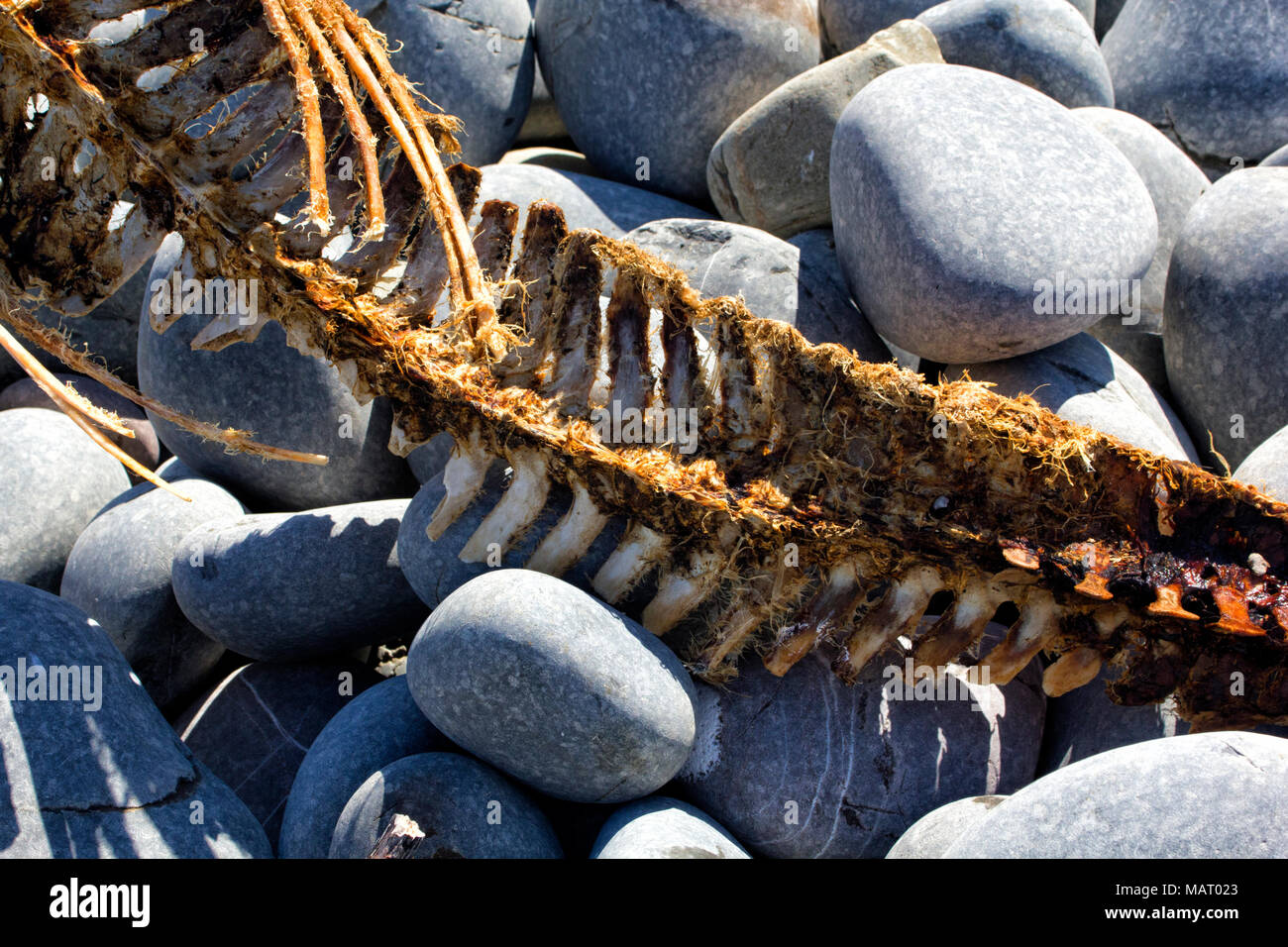 Detailed Vertebrae Section of a Grey Seal Skeleton washed up on Greencliff Beach in North Devon. - Stock Image