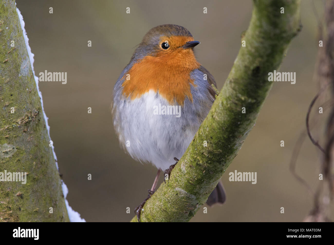 European Robin (Erithacus rubecula) perched on a branch on a snowy winter's day - Stock Image
